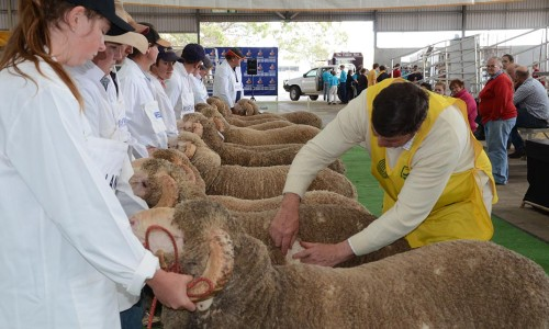 Midstate Merinos Field Day Hogget Competition
